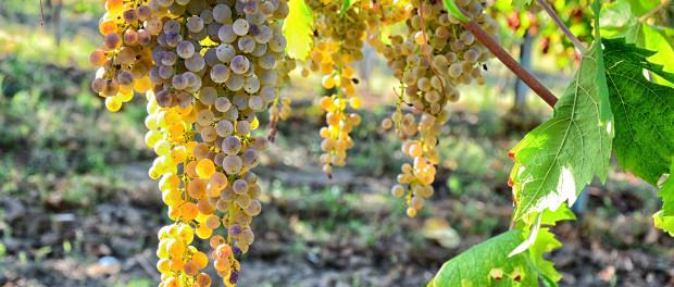 vini-bianchi